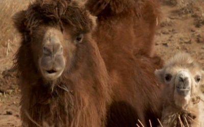 «La historia del Camello que llora», Byambasuren Davaa/Luigi Falorni