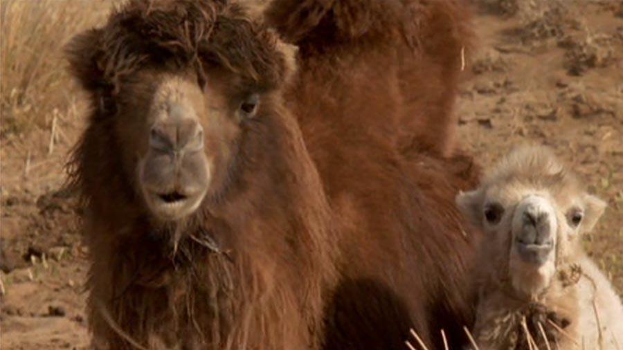 Ingen Temee (mamá camello) y Botok (el camello que llora) - La historia del Camello que llora